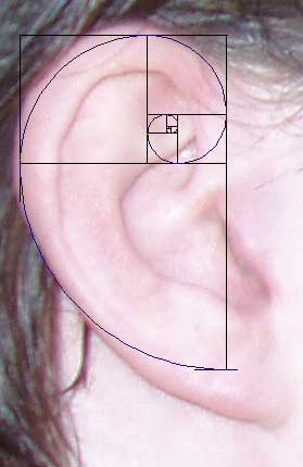 Fibonacci Sequence Human Ear