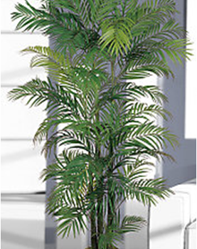 6-Areca-Palm-Tree