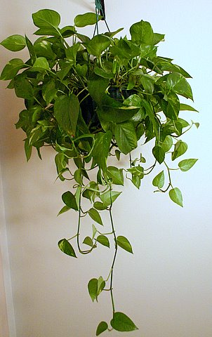 Household plants that improve indoor air quality world truth tv - House plants vines ...