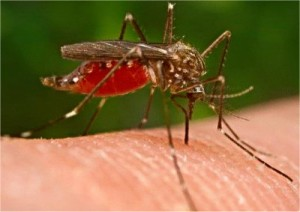 Genetically-Engineered-Mosquitoes-released-into-the-wild-300x212