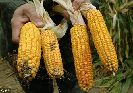 Russia Suspends Import and use of American GM Corn