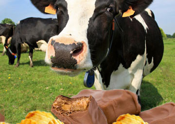 Cattle Now Being Fed Cookies & Candies Instead of Real Food