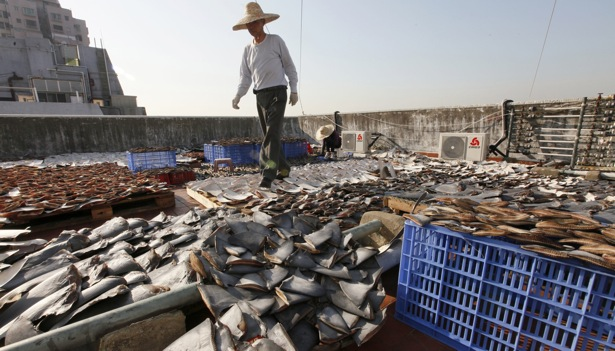 Alarming Sight: Thousands of Shark Fins Drying on Hong Kong Rooftop