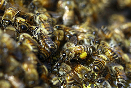 07_bees_560x375