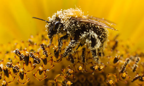 A bee collects pollen from a sunflower in Utrecht