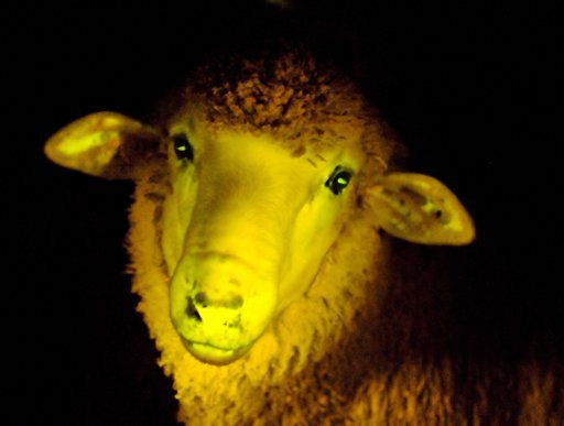 Glow In The Dark Sheep: Genetically Modified At Uruguay Lab