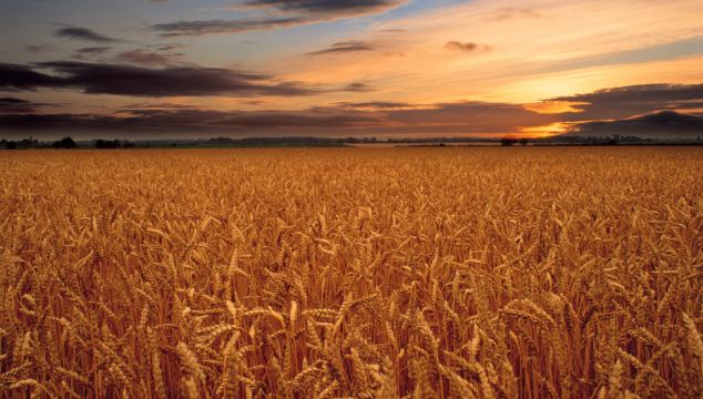 America facing Wheat Export Crisis as Europe and Japan lead the way in rejecting GMO crops
