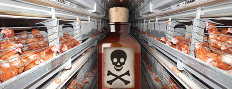 Toxic Arsenic Found in 90% of Chicken Meat
