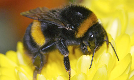 Bumblebee-pollination-is--007