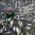 Imported Chinese Tilapia Are Raised on Feces