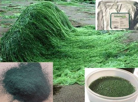 Pubmed research papers spirulina