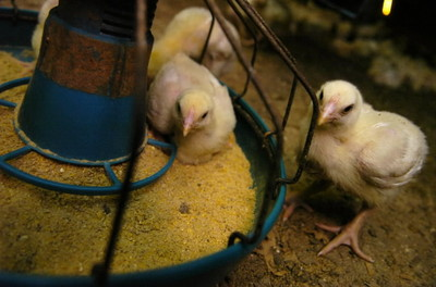 FDA Bans (Most) Arsenic in Chicken Feed
