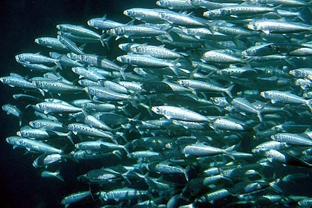 Sardines Completely Disappear and Climate Change May Be To Blame