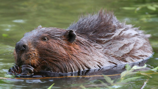 Beaver Butt used as 'Natural Flavoring' in your Food