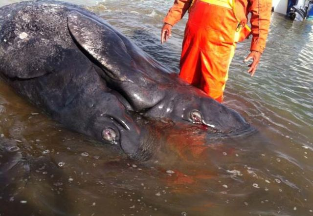 Two Headed Whale Washes Up On Baja, California Beach