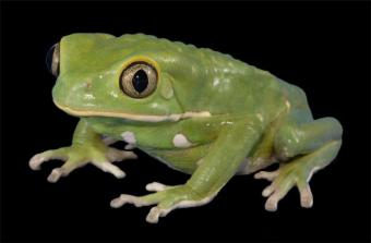 waxy-monkey-tree-frog2