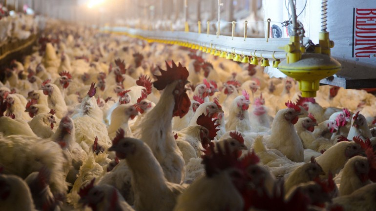 It's Time For The USDA To Stop Boiling Chickens Alive