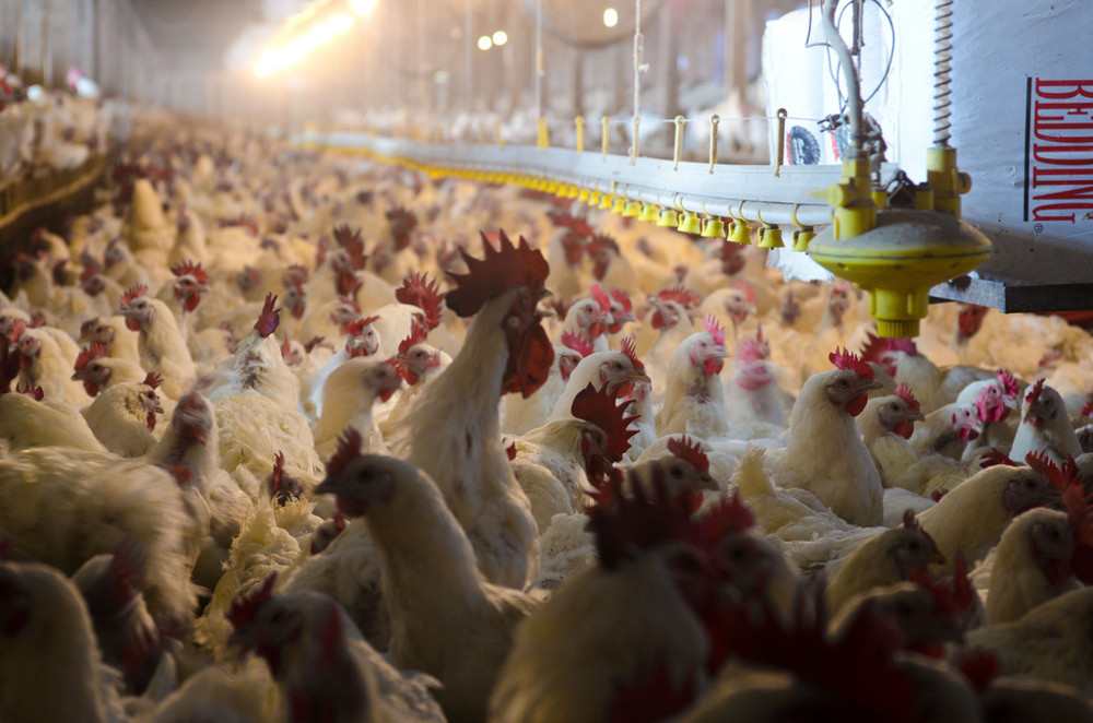 Poultry-Processing