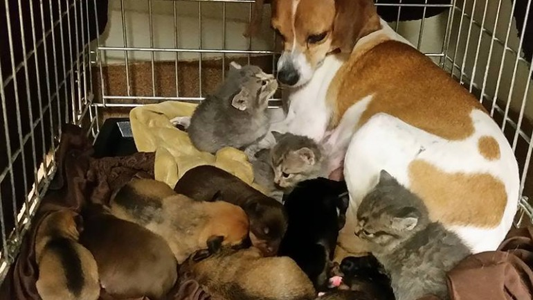 Female Beagle Fosters Three Abandoned Kittens Along With Her Puppies