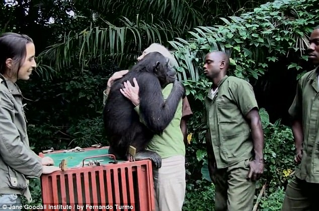 How Does A Chimp Thank Its Savior After Being Freed?