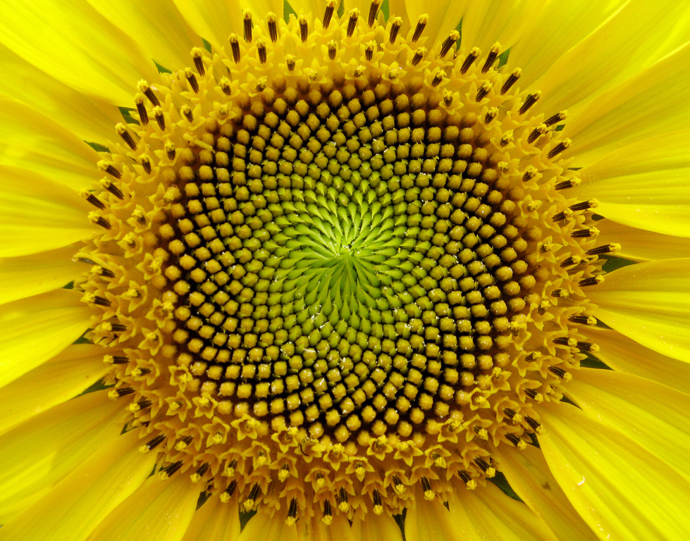macro+sunflower