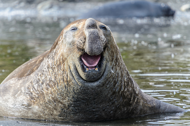laughing elephant seal