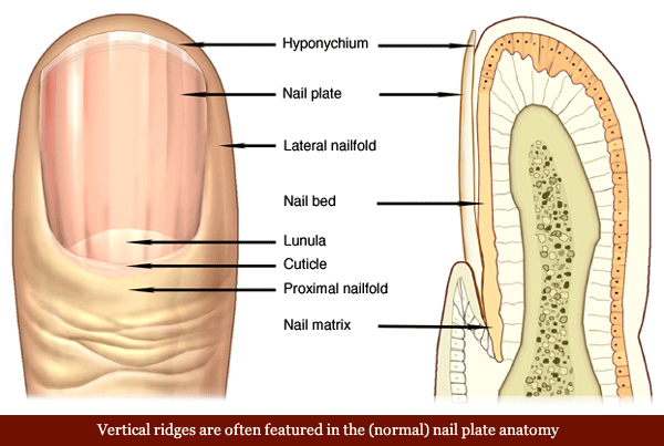 vertical-ridges-fingernails-nail-plate-anatomy