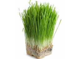 wheatgrass_-d1_small