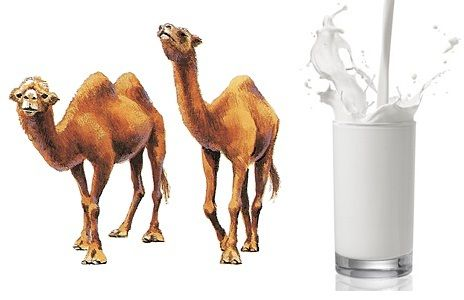 Camel's milk: Can It Get Over The Hump and Become The Next Big Superfood?