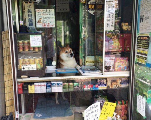dog-opens-counter-window-shiba-inu-doge-1