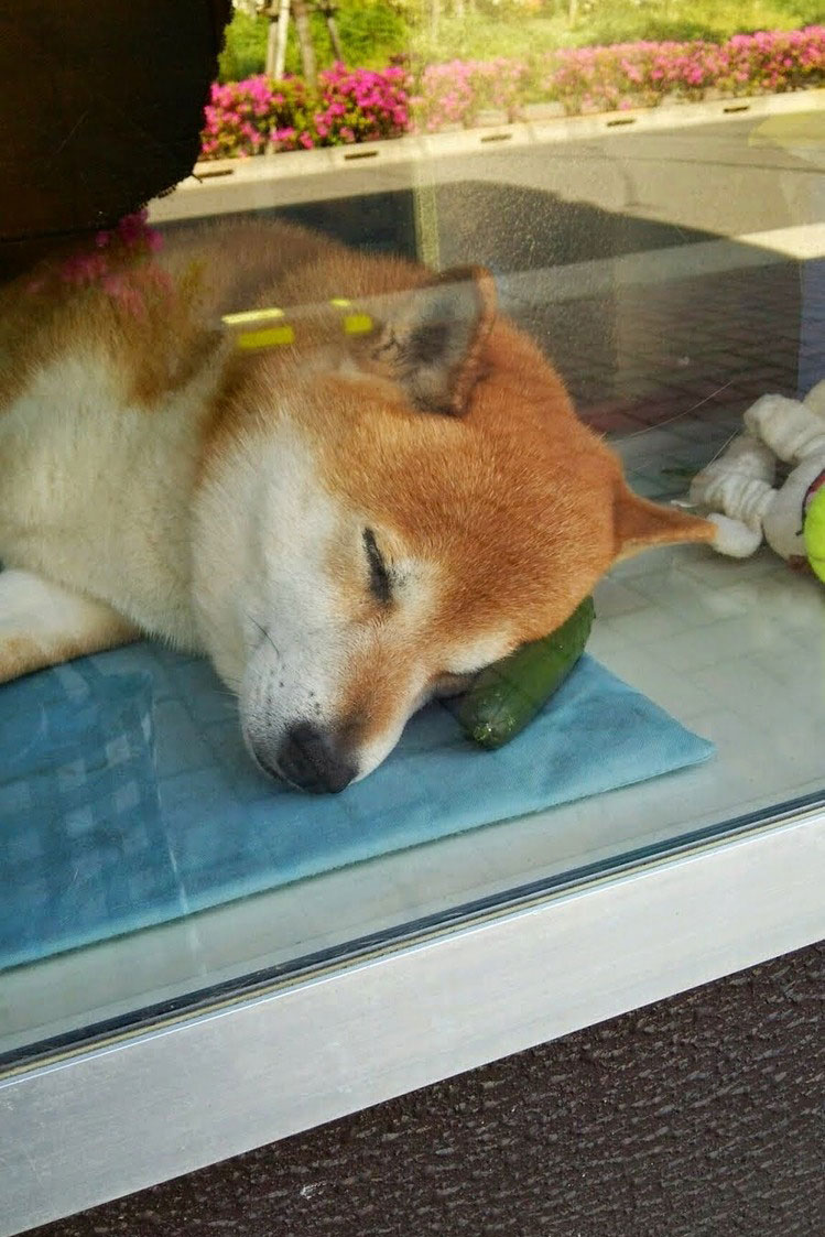 dog-opens-counter-window-shiba-inu-doge-5