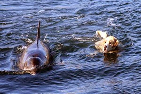 Every Day, A Dolphin Comes To Shore To Take His Dog For A Swim. Incredible