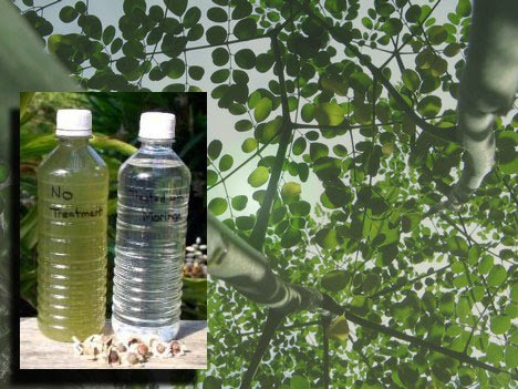 How to Purify Water With Seeds from the Moringa Tree