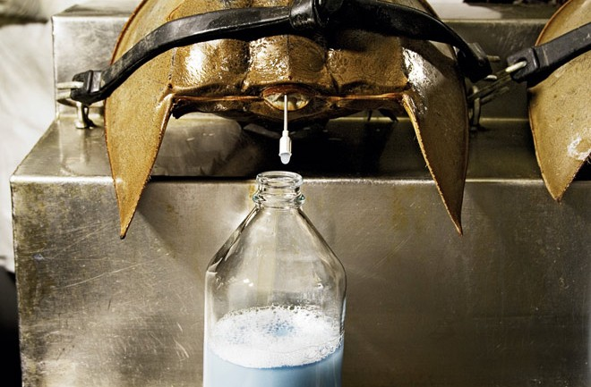 How Horseshoe Crab Blood Saves Millions Of Lives‏