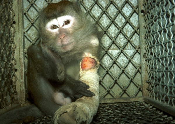 19-injured-monkey-in-lab-cage