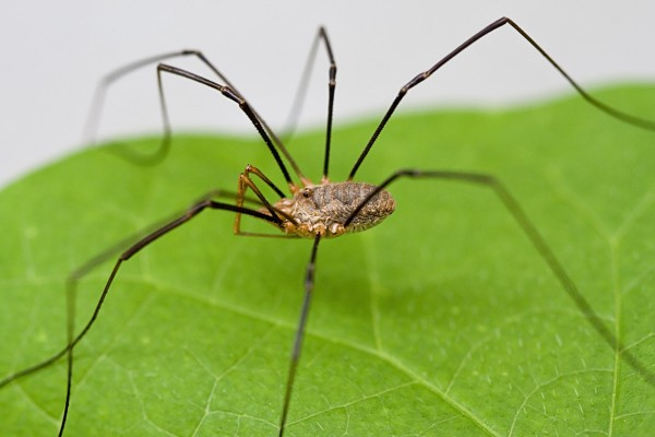 daddy_long_leg_spider_harvestman_picture_3