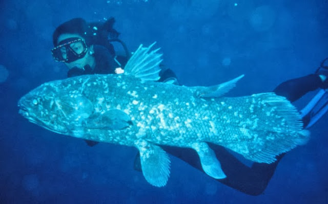 evolution coelacanth living fossil