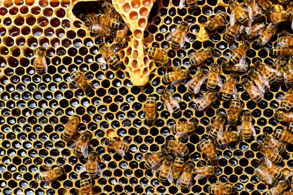 Bee Belly Bacteria: an Antibiotic Alternative?