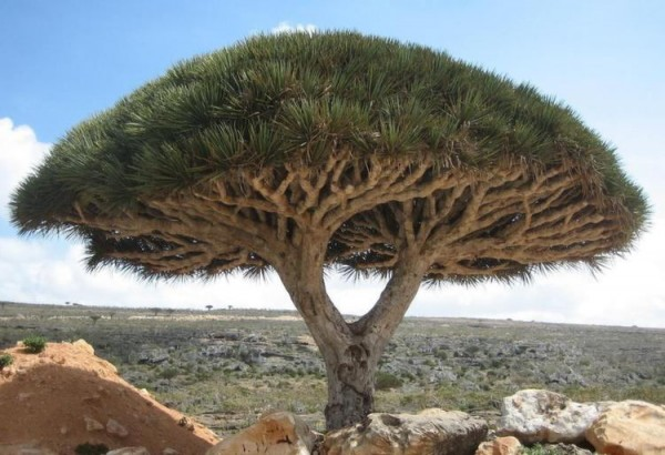nature-socotra-dragon