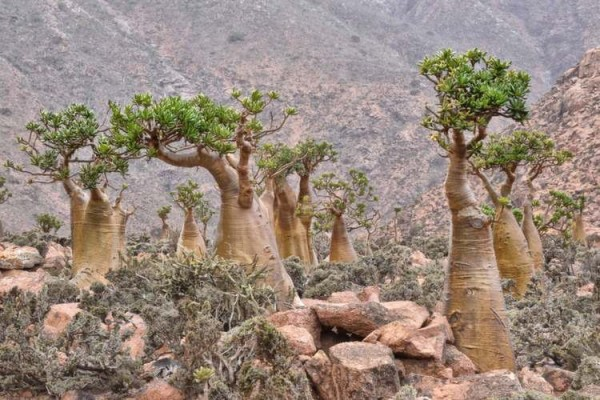 nature-socotra-trees