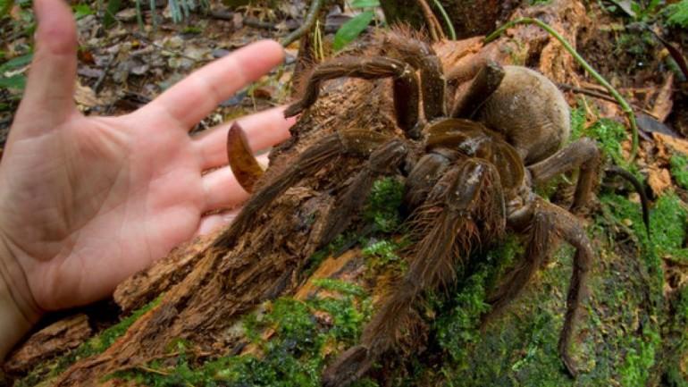 Puppy-Sized Spider Surprises Scientist in Rainforest