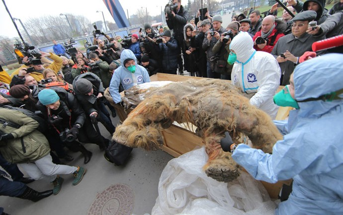 39,000 Year Old Mammoth Goes on Display in Moscow