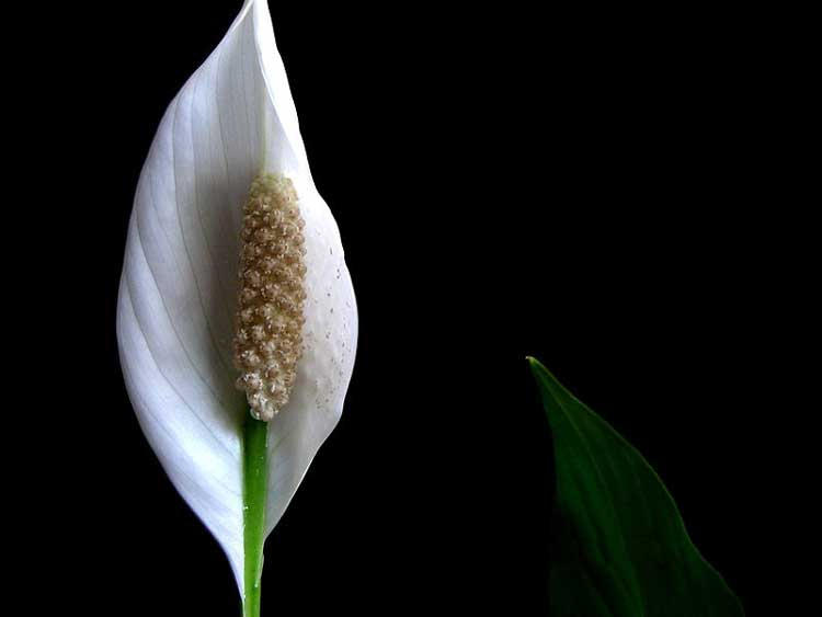 800px-Peace_Lily