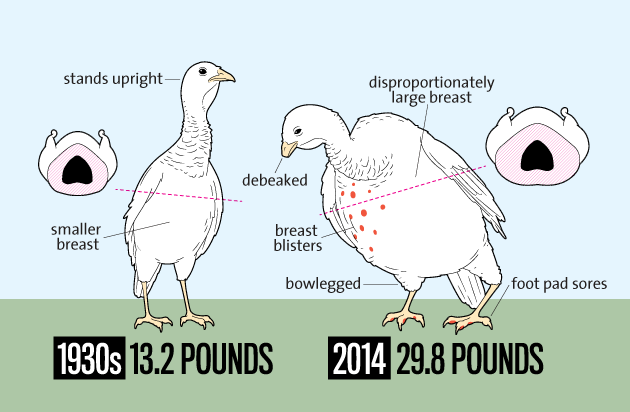 Look How Much Bigger Thanksgiving Turkeys Are Today Than in the 1930s