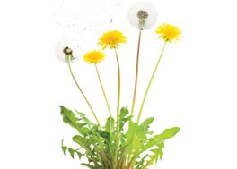 dandelions_-d1_small