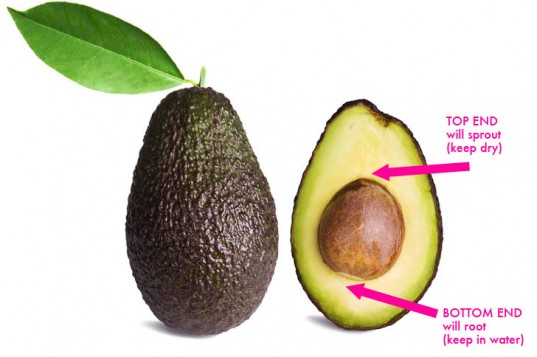 Avocado-Pit-Orientation-537x357