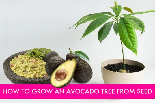 How-To-Grow-Avocado-From-Seed-537x357