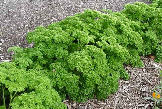 Parsley Compound Kills 86% of Lung Cancer Cells
