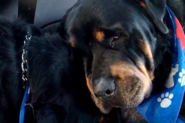 Crying Rottweiler Grieves For Dead Brother… Animals Do Have Emotions