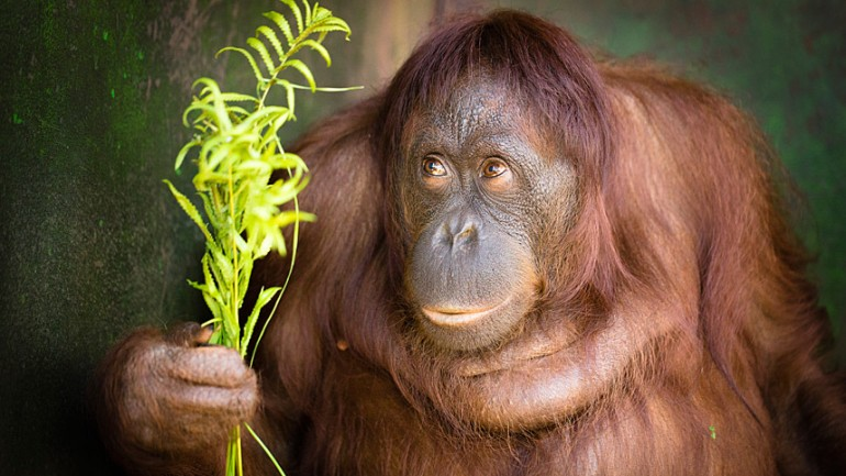 Orangutan Set Free After Chained At Neck For 13 Years & Fed Junk Food